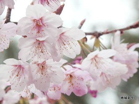 桜の開花宣言がありましたね❀