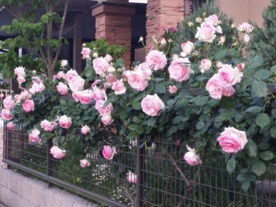 近所のシニアさんと、きれいな花々に癒やされました