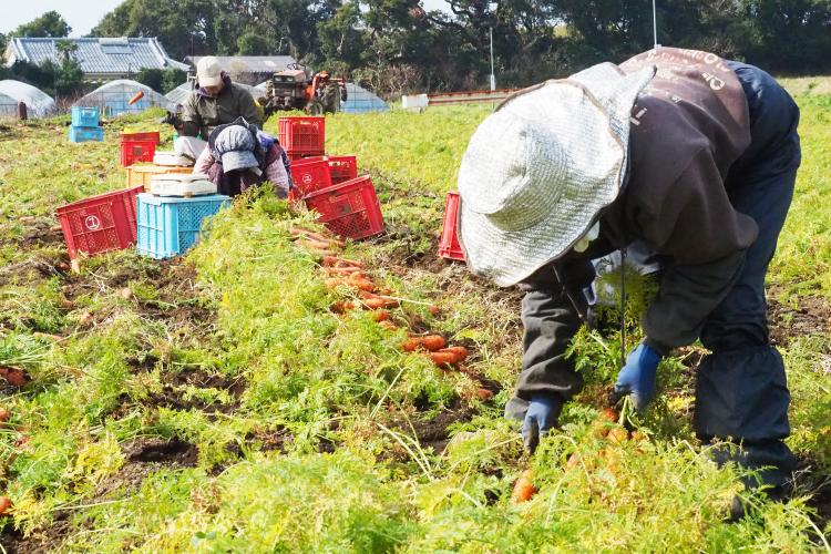 農林水産業 にんじん収穫